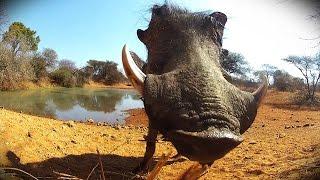Wart hog gets SLOCKED with a Razor blow dart!!