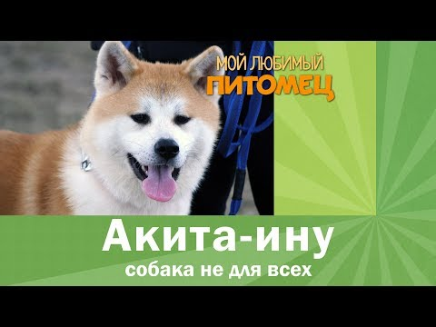 АКИТА-ИНУ: воспитание, содержание, выбор щенка, характер, плюсы и минусы породы