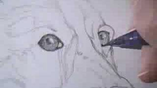 Shading in eyes - Shetland Sheepdog drawing