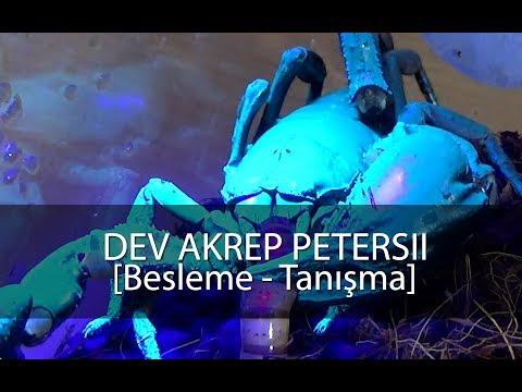 Dev Akrep Heterometrus Petersii / Beslenme