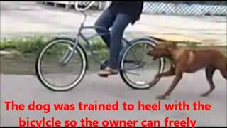 Rhodesian Ridgback Long Island Dog Training