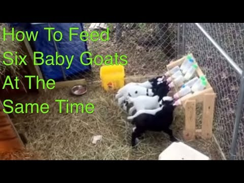 How to Feed Six Baby Goats at One Time