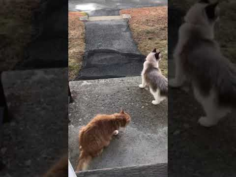Maine Coon and Ragdoll CATS wants to go out and play