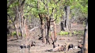 Wild Dog kill young Waterbuck near Kasabushi Camp, watch the feast!