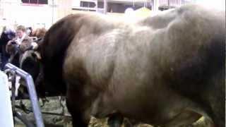 La race bovine Parthenaise au salon de l'agriculture 2013