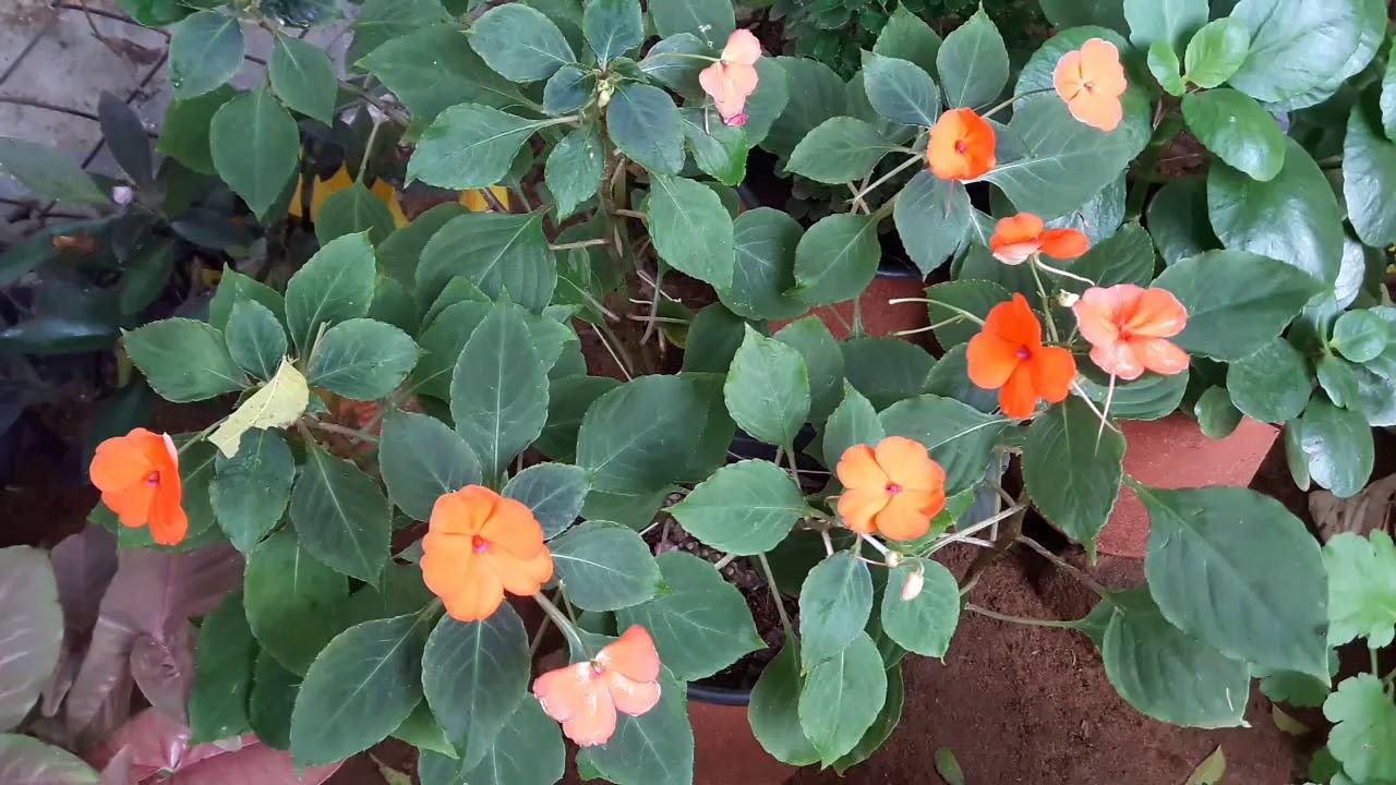 Impatiens plant care tips/ impatiens plant ki dekhaval ...
