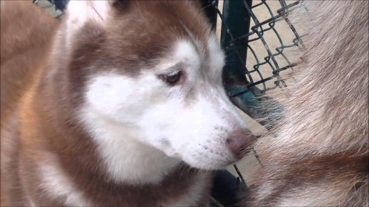 Siberian Husky Compilation Top Funniest Siberian Husky Videos