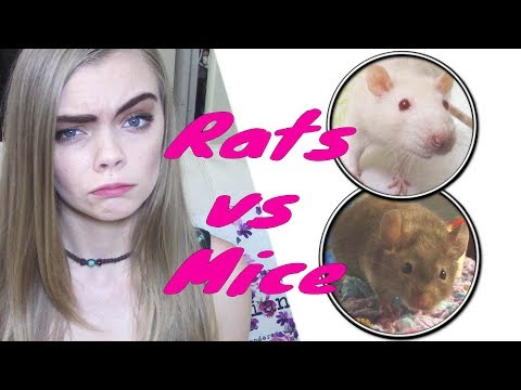 RATS VS MICE (which One Is A Better Pet For You?)