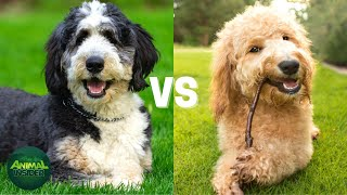 Bernedoodle Vs Goldendoodle  Which One Is Right For You?