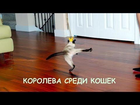 Королева кошачьего мира - дерзкая, грациозная, злая и одновременно ласковая сиамская кошка