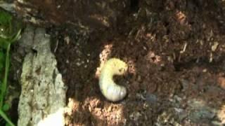 朽木が大好きなカブトムシの幼虫です。