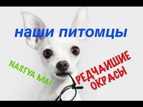 РЕДКИЙ окрас: Собака ТОЙ ТЕРЬЕР и Кошка ДОНСКОЙ СФИНКС.