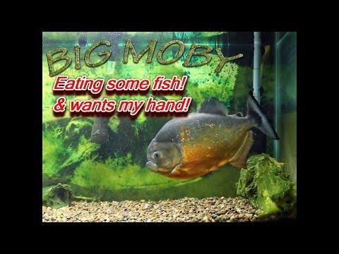Big Piraya & Caribe Piranha Eating Fish Xiaomi Yi Cam