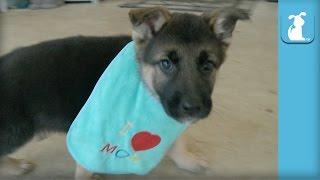 Fluffy German Shepherd Puppy Wears Bib - Puppy Love