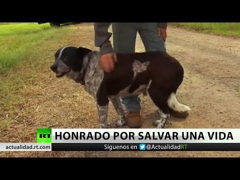 Un perro sordo y ciego, héroe nacional en Australia al salvar a una niña