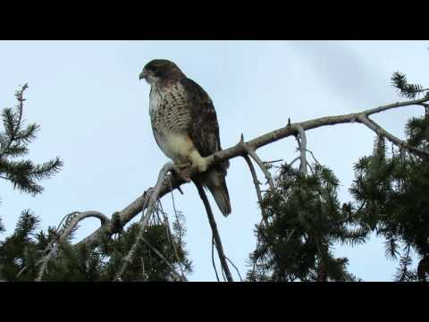 Red tail hawk calling