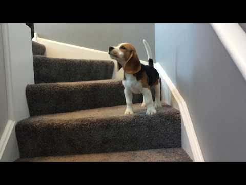 Beagle puppy doing his best to go downstairs