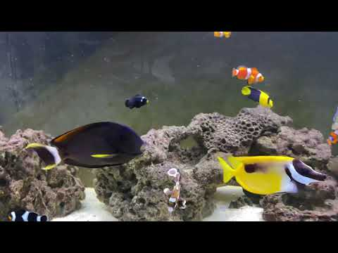 Saltwater Aquarium Fish - Clown Fish And Tang Fish In 125 Gallon Saltwater Tank