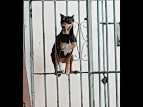 Ebony dog escapes funny