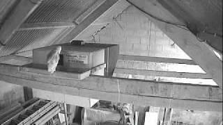 Barn Owl Trust Live Webcam: Eldest Owlet Outside Nestbox