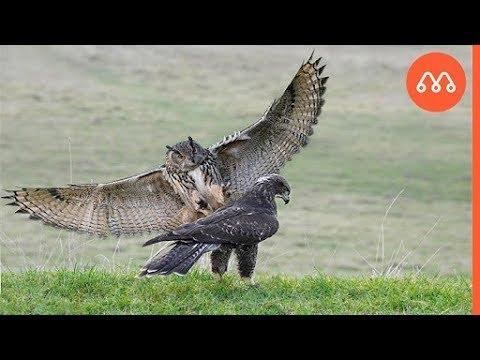 Coruja Capturando Aguia