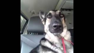 This German Shepherd Dances With Her Ears And It's ADORABLE