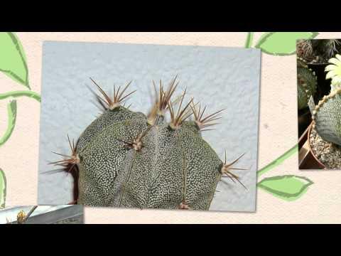 Астрофитум украшенный - быстрорастущий кактус (Astrophytum ornatum)