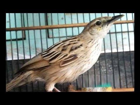 Suara Nyaring Burung Cica Koreng Jawa Merdu Dan Unik