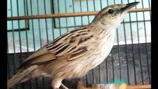 Video Suara Nyaring Burung Cica Koreng Jawa Merdu Dan Unik download MP3, 3GP, MP4, WEBM, AVI, FLV November 2018