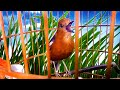 Merdu Kicauan Anis Merah Gacor Bikin Burung Terapi Anteng Tanpa Emosi Tapi Ngelawan Untuk Terpancing  Mp3 - Mp4 Download