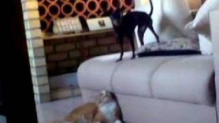 Rex (miniature Pinscher) And Max  - November 2009