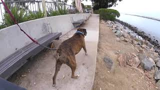 Squirrels Tease Old Boxer