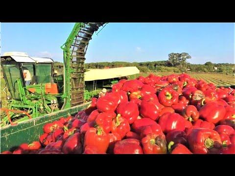 High-Tech Sweet Pepper harvester,Extraordinary Agriculture machines,modern harvesting machine,tech►1