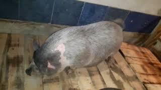 Наклонные полы для свиней