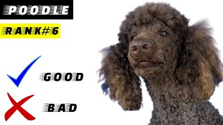 Standard Poodle Pros And Cons | The Good And The Bad