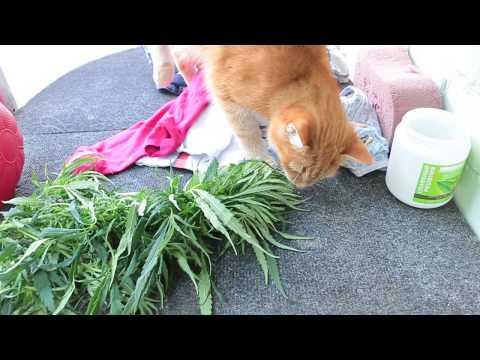 Кошка ест коноплю