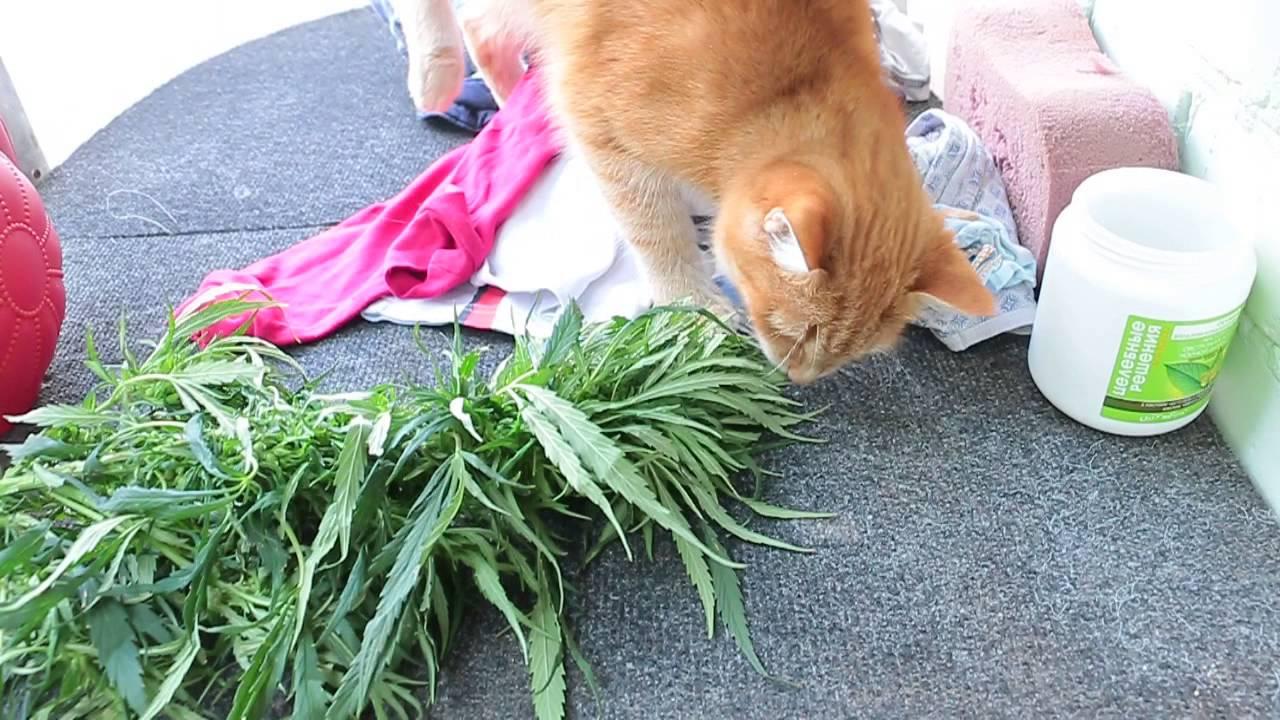 Кошки любят коноплю штат марихуана
