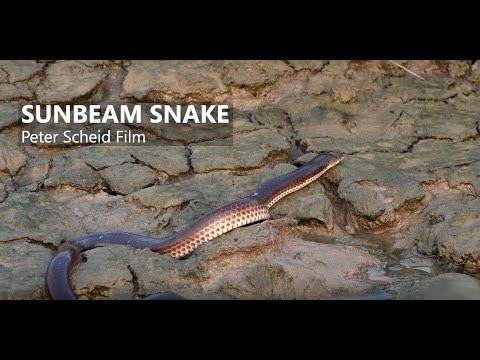 Sunbeam Snake, Xenopeltis Unicolor - Film Production, 4K Cameraman Ho Chi Minh City, Vietnam
