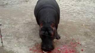 Nijlpaard vs Watermeloen
