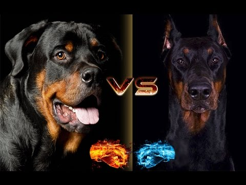 Rottweiler vs Doberman Dog Breed !!