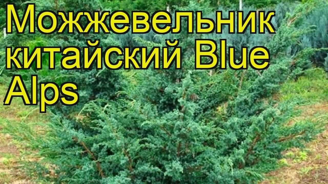 Условно можжевельники делят на две основные группы: с игловидной хвоей (обыкновенный, сибирский и пр. ) и чешуевидной (китайский, чешуйчатый и.