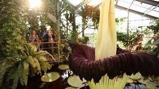 Größte Blume der Welt: Titanwurz blüht in Kiel