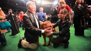 Dogue de Bordeaux | Victoria Stilwell at Westminster Dog Show