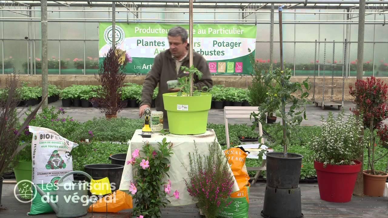 Planter Des Tomates En Pot comment entretenir ses plants de tomates en pots ?