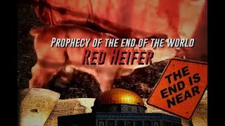 Red Heifer Born in Israel and claim to announce the prophecy of the end of the world