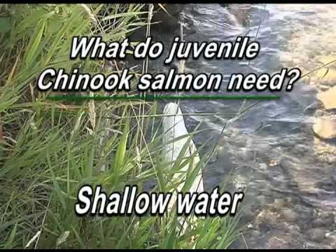 Young salmon and shorelines, Lake Washington and Lake Sammamish