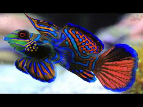 mandarin goby fish in saltwater aquarium are hard to keep - REEF RADIO LIVE STREAM