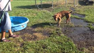 Dogs playing with hose