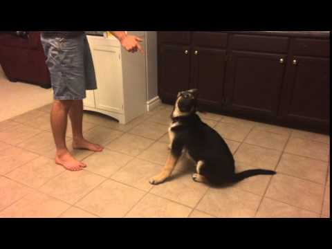 German Shepherd Puppy has Stellar Play Dead Performance