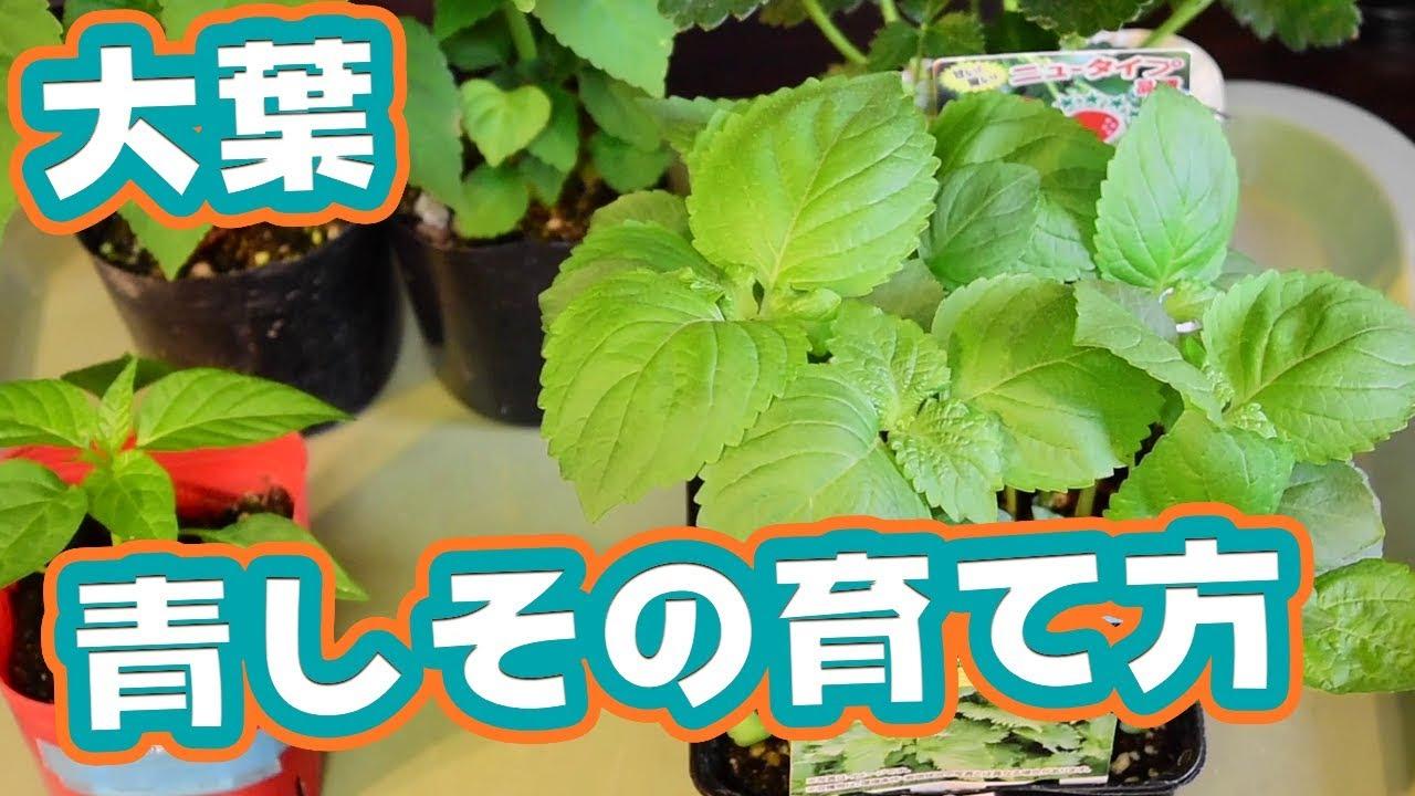 栽培 大葉